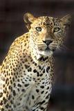 Ein strenger Blick auf einen Leoparden Lizenzfreie Stockfotografie