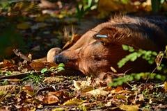 Ein streunender Hund ohne eine Zucht liegt auf der Straße unter trockenen Blättern im Herbst lizenzfreie stockfotos