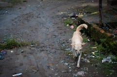 Ein streunender Hund in Sumatra Lizenzfreies Stockbild