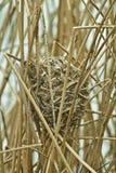 Zaunkönig-Nest Stockfotos
