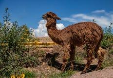 Ein Suri-Alpaka in den Anden-Bergen von Peru lizenzfreies stockfoto