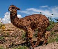Ein Suri-Alpaka in den Anden-Bergen von Peru lizenzfreie stockbilder