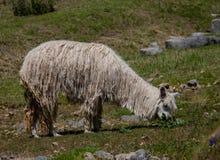 Ein Suri-Alpaka in den Anden-Bergen von Peru stockfotografie