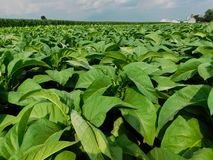 Ein Tabakfeld im Tageslicht stockbild