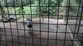Ein Tag am Zoo-Reihen-Pfau, der Federn anzeigt stock video footage