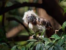 Ein Tamarin mit Haube, ein kleiner Affe mit dem roten Haar und ein weißer Kamm auf seinem Kopf unter dem Grün verzweigt sich auf  Lizenzfreies Stockbild