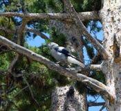 Ein tapferer Vogel hockte in einem Baum an Yellowstone Nationalpark Lizenzfreie Stockfotos