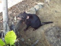 Ein tasman Teufel, der auf sein Lebensmittel wartet stockfotos