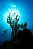 Ein Taucher, der die Koralle auf einem Riff in Honduras bewundert Stockbilder