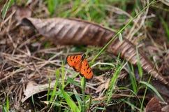 Ein Tawny Coster-Schmetterling verbreitet seine schönen orange Flügel lizenzfreies stockfoto