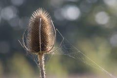 Ein teasle im Sonnenschein mit einem Spinnennetz Stockbild