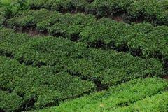 Ein Tee-Gärten in Coorg, Madhikeri Indien lizenzfreies stockbild