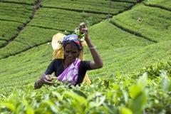 Ein Teepflücker bei der Arbeit über den Maskeliya-Plantagen Mousakellie-Zustand, nahe Adams-Spitze in Sri Lanka Lizenzfreie Stockfotos