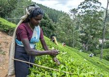 Ein Teepflücker bei der Arbeit nahe Adams-Spitze in Sri Lanka Lizenzfreie Stockfotos