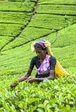 Ein Teepflücker bei der Arbeit nahe Adams-Spitze in Sri Lanka Stockfotos