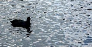 Ein Teichhuhn auf dem offenen Wasser Stockfotos