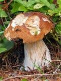 Ein teilweise gebissener Sommersteinpilz in der Natur Lizenzfreies Stockbild