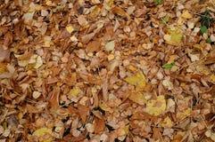 Ein Teppich von gelben Blättern stockbilder