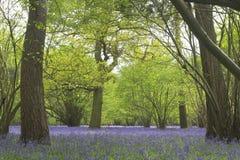 Ein Teppich von Glockenblumen im Frühjahr stockbild