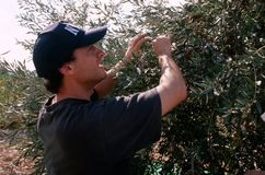 Ein THEORIE-Freiwilliger in einem Olivenhain, Palästina. Stockfoto