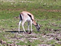 Ein Thomson-` s Gazelle Eudorcas-thomsonii, das nach Lebensmittel aus den Grund sucht Stockbilder