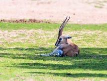 Ein Thomson-` s Gazelle Eudorcas-thomsonii liegt auf der Weide und schaut herum Lizenzfreie Stockfotos