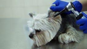 Ein Tierarzt ?berpr?ft ein Ohr des Hundes mit einem Otoscope stock footage