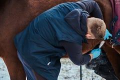 Ein Tierarzt, der ein braunes reinrassiges Pferd, Papillomasabbauverfahren mit cryodestruction, in einer Ranch im Freien behandel stockfotos