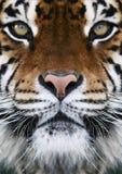 Ein Tiger Lizenzfreie Stockfotos