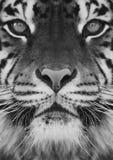 Ein Tiger Stockfotos