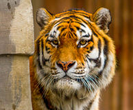 Ein Tiger Stockbilder