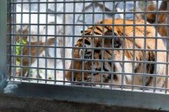 Ein Tiger in einem Käfig Stockbilder