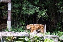 Ein Tiger im Zoo lizenzfreie stockfotografie