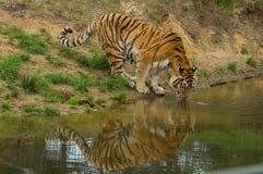 Ein Tigertrinken Lizenzfreie Stockfotografie