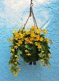 Ein Topf gelber Blumenfall auf blauer holperiger Zementbetonmauer Lizenzfreie Stockfotos