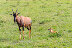 Ein Topi-Antilopen-Kalb, das als die Mutter stillsteht, passt auf Gefahr auf Stockfoto