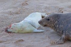 Ein toter neugeborener Grey Seal-Welpe mit seiner Mama Lizenzfreie Stockfotos