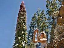 Ein Tourist, eine junge Frau, bewundert und fotografiert das enorme endemische Teide-Tajinaste in Nationalpark Teide, Teneriffa lizenzfreies stockfoto