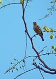 Ein Trällerer starrte von seiner Stange auf einem offenen Baumzweig an Stockfoto