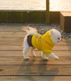 Ein tragendes gelbes Kleidungswelpenspielen Lizenzfreie Stockfotografie