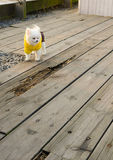 Ein tragendes gelbes Kleidungswelpenspielen Lizenzfreie Stockfotos