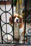 Ein trauriger Hund hinter einem Zaun Stockfotografie