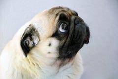 Ein trauriger Pughund mit großen traurigen Augen und ein Ausfragen starrt an stockfotografie
