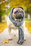 Ein trauriger romantischer Pughund in einem gestreiften warmen Schal auf einem Stein gegen einen Hintergrund des Stadt ` s Herbst Stockfotografie
