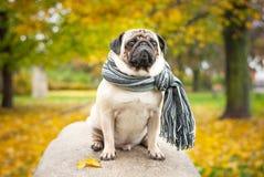 Ein trauriger romantischer Pughund in einem gestreiften warmen Schal sitzt auf einem Stein gegen einen Hintergrund des Stadt ` s  Lizenzfreie Stockfotos