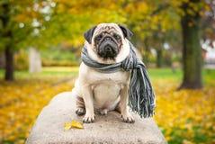 Ein trauriger romantischer Pughund in einem gestreiften warmen Schal sitzt auf einem Stein gegen einen Hintergrund des Stadt ` s  Lizenzfreies Stockbild