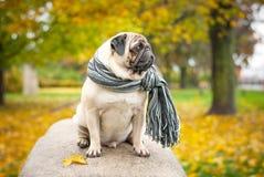 Ein trauriger romantischer Pughund in einem gestreiften warmen Schal sitzt auf einem Stein gegen einen Hintergrund des Stadt ` s  Stockfotos