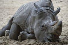 Ein trauriges Nashorn, das auf dem Sand liegt. Lizenzfreies Stockfoto