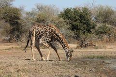 Ein Trinkwasser der Giraffe an einem waterhole Lizenzfreie Stockfotos
