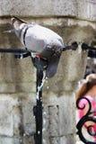 Ein Trinkwasser der Taube von einem Brunnen stockfoto